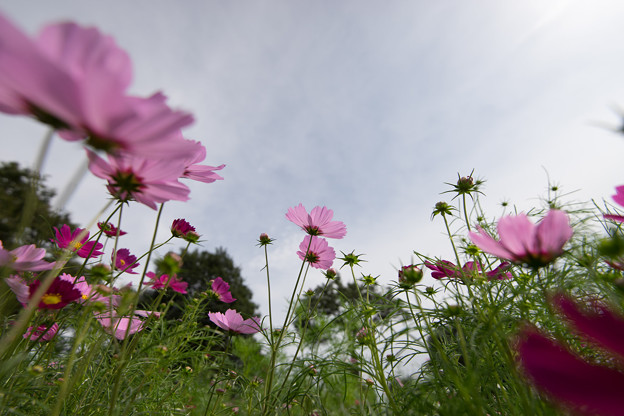 昭和記念公園【花の丘のコスモス:ドワーフ・センセーション】広角4