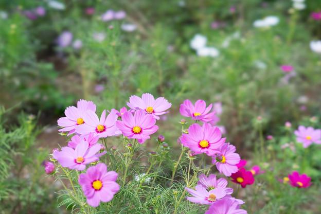 昭和記念公園【花の丘のコスモス:ドワーフ・センセーション】STF2