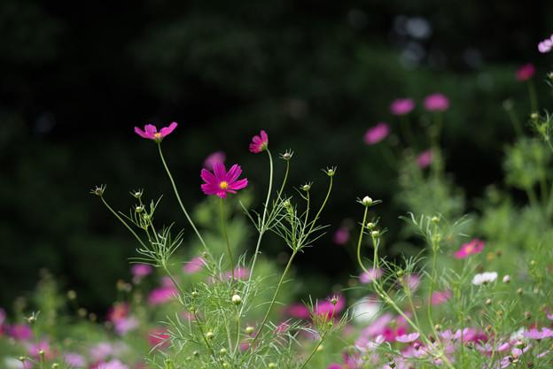 昭和記念公園【花の丘のコスモス:ドワーフ・センセーション】望遠マクロ1