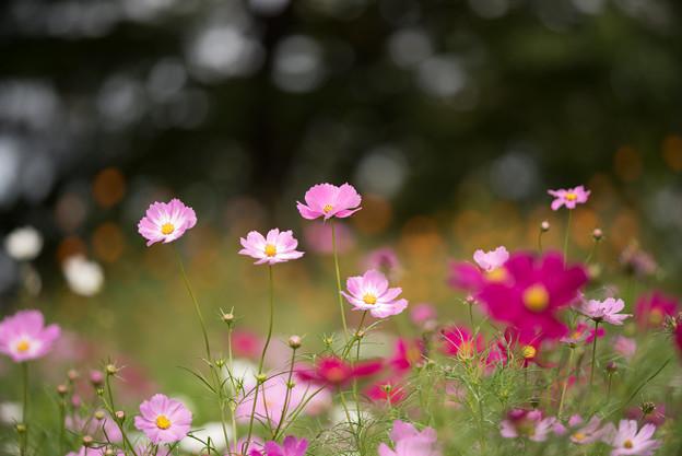 昭和記念公園【花の丘のコスモス:ドワーフ・センセーション】望遠マクロ3