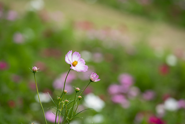 昭和記念公園【花の丘のコスモス:ドワーフ・センセーション】望遠マクロ6