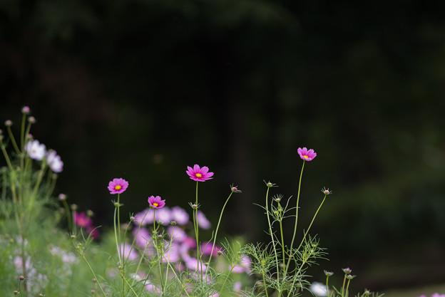 昭和記念公園【花の丘のコスモス:ドワーフ・センセーション】望遠4