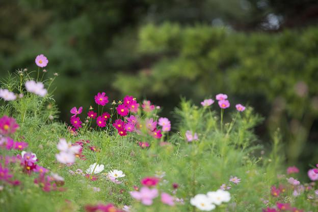 昭和記念公園【花の丘のコスモス:ドワーフ・センセーション】望遠5