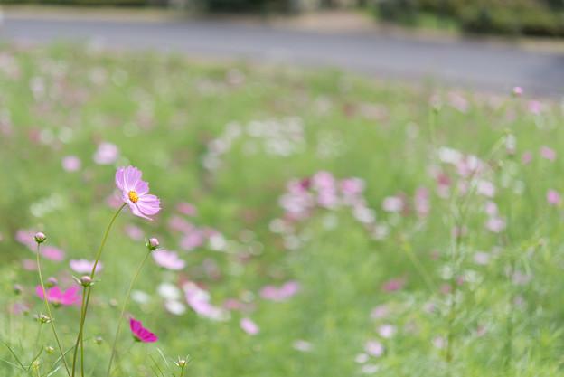 昭和記念公園【花の丘のコスモス:ドワーフ・センセーション】標準マクロ3