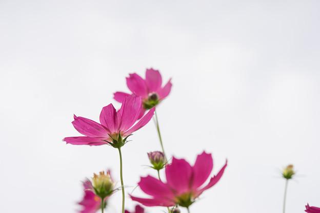 昭和記念公園【花の丘のコスモス:ドワーフ・センセーション】標準マクロ6