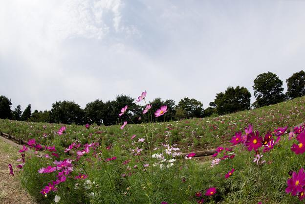 昭和記念公園【花の丘のコスモス:ドワーフ・センセーション】魚眼1