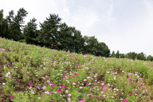 昭和記念公園【花の丘のコスモス:ドワーフ・センセーション】魚眼2