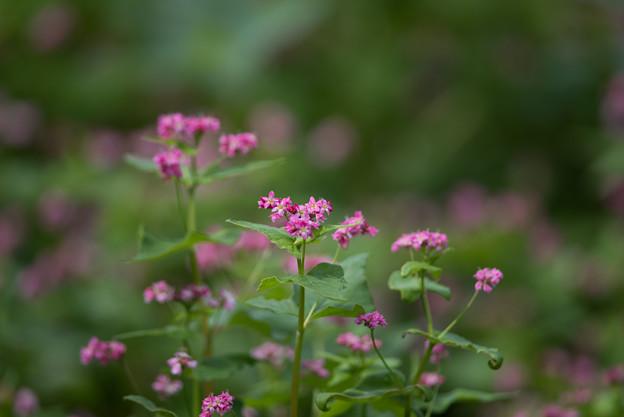 昭和記念公園【赤の蕎麦の花】2
