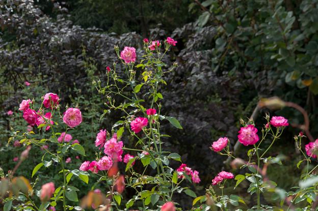 花菜ガーデン【薔薇:ソフィーズ・パーペチュアル】1