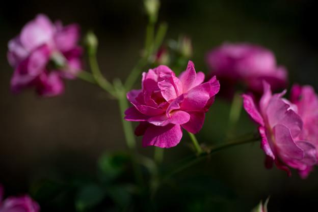 花菜ガーデン【薔薇:ソフィーズ・パーペチュアル】3