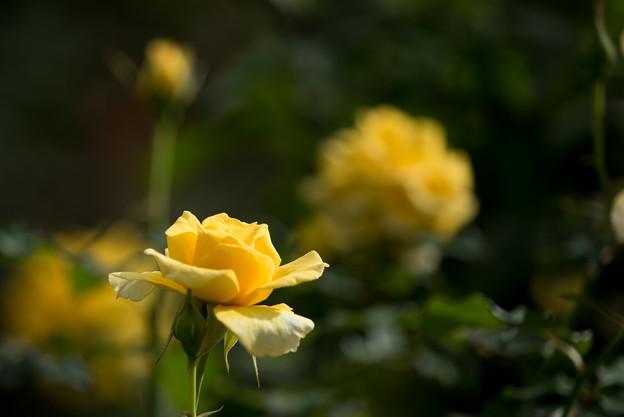 花菜ガーデン【薔薇:コールド・バニー】3