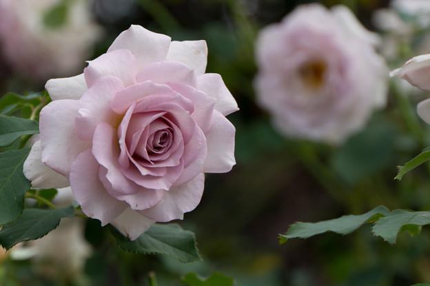 花菜ガーデン【薔薇:ニュー・ウェーブ】2