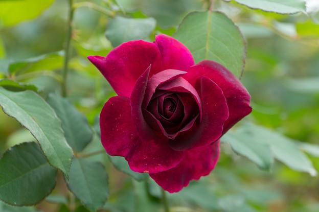 花菜ガーデン【薔薇:ムンステッド・ウッド】