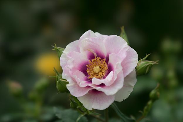 花菜ガーデン【薔薇:アイズ・フォー・ユー】2
