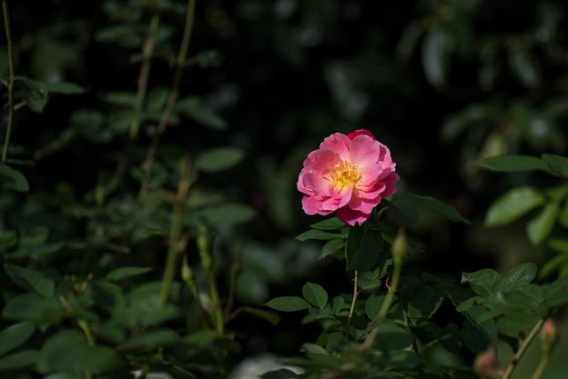 花菜ガーデン【薔薇:コンデサ・デ・サスタゴ】