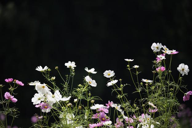 【里山ガーデンのコスモス】2