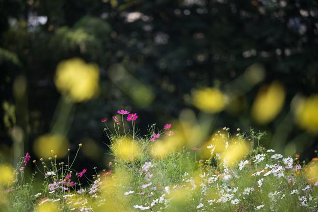【里山ガーデンのコスモス】3