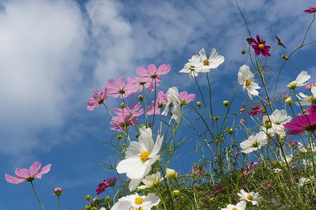 【里山ガーデンのコスモス】6