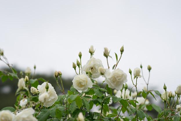 生田緑地ばら苑【秋バラ:アイスバーグ】1