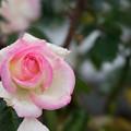 生田緑地ばら苑【秋バラ:プリンセス・ドゥ・モナコ】
