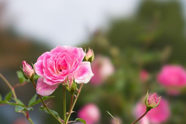 京成バラ園【秋バラ:ブリリアント・ピンク・アイスバーグ】1