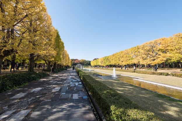 昭和記念公園【カナールのイチョウ】2