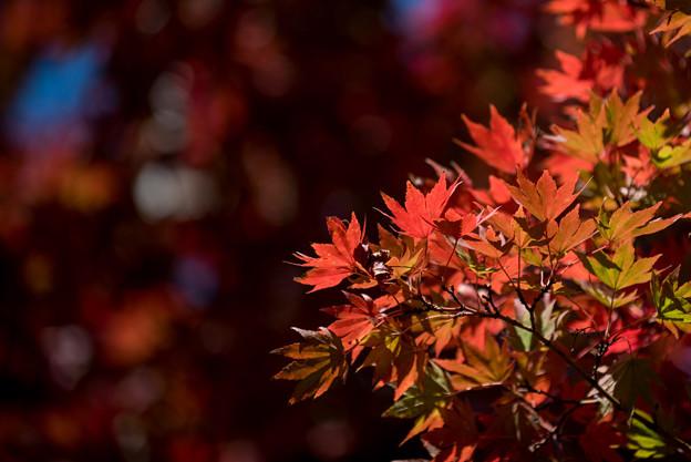 昭和記念公園【日本庭園の紅葉】2-4