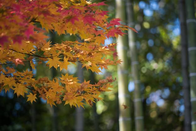 昭和記念公園【日本庭園の紅葉】3-1