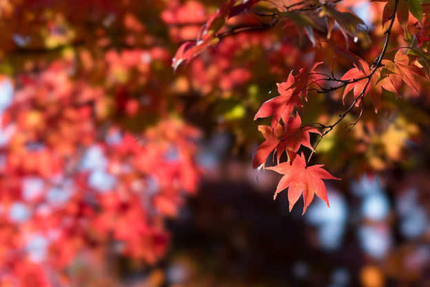 昭和記念公園【日本庭園の紅葉】3-4