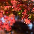 Photos: 昭和記念公園【日本庭園の紅葉】3-4