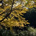 昭和記念公園【イチョウの大木】3