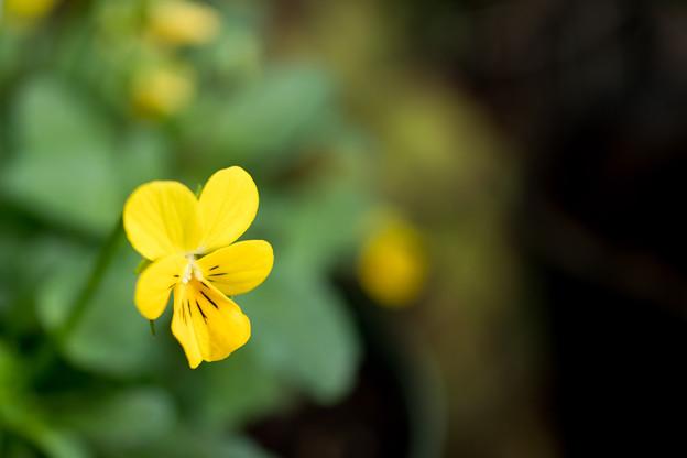 庭の花【スミレ】