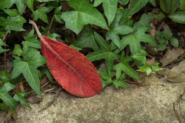 【紅葉した落ち葉】