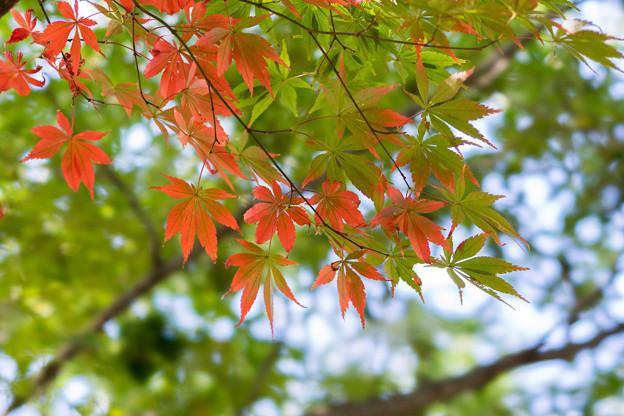 新宿御苑【モミジの紅葉はこれだけでした】