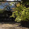 【九品仏浄真寺の青モミジ】