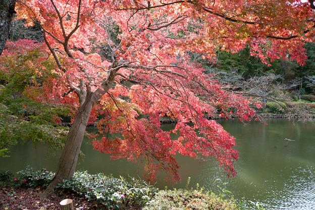 薬師池公園【薬師池の紅葉】5