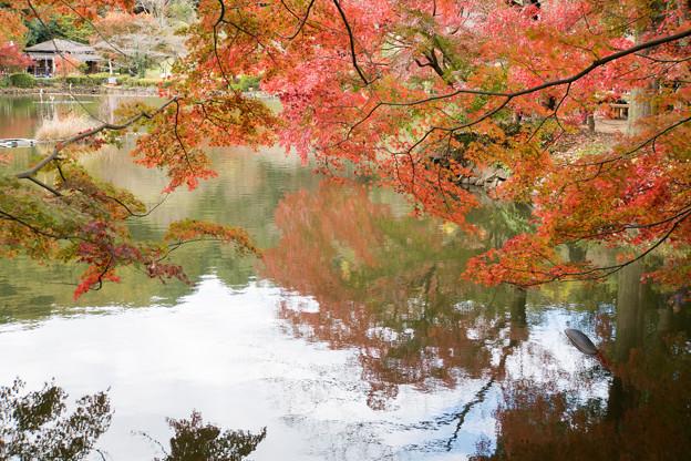 薬師池公園【薬師池の紅葉】6
