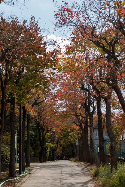 近所の緑道【ナンキンハゼの紅葉】