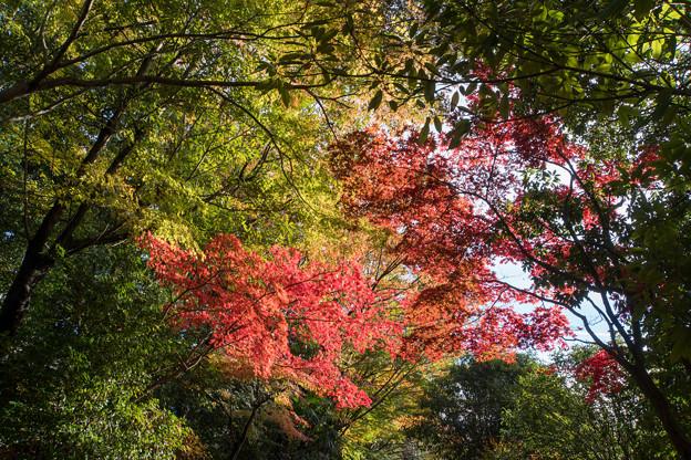 【近所の緑道の紅葉】1