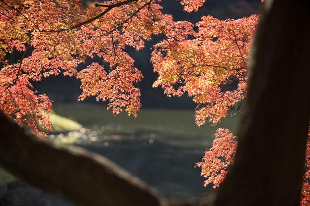 小石川後楽園【船着場付近の紅葉】3