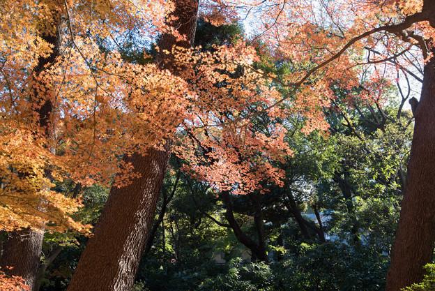 新宿御苑【モミジ山のの紅葉】2