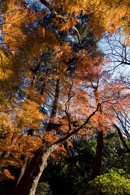 新宿御苑【モミジ山のの紅葉】3