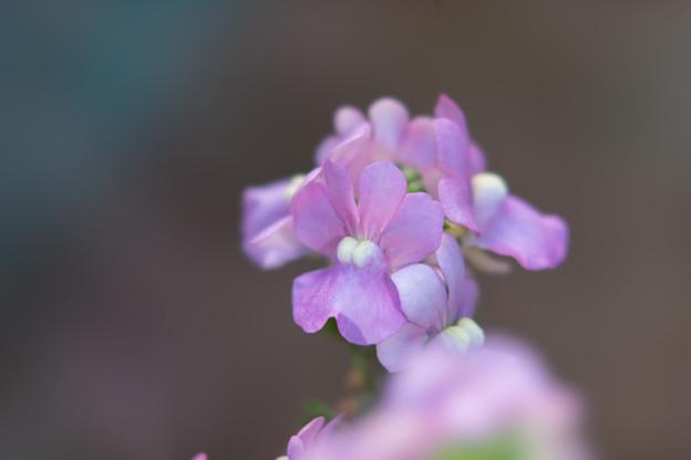 真冬の庭に咲く花【宿根ネメシア】