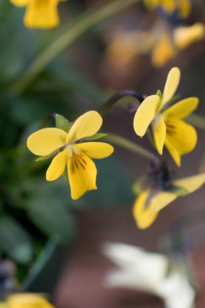 真冬の庭に咲く花【スミレ】