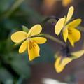Photos: 真冬の庭に咲く花【スミレ】