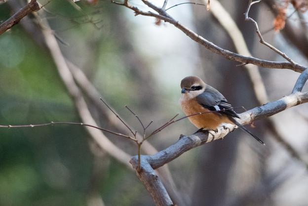 神代植物公園【野鳥:モズ】1