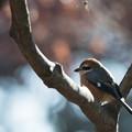 神代植物公園【野鳥:ジョウビタキ】3