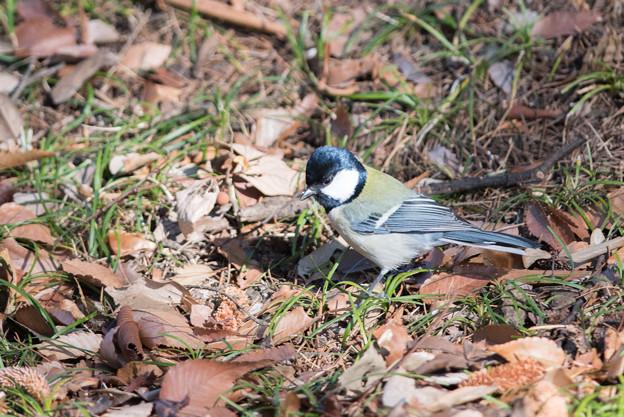 神代植物公園【野鳥:シジュウカラ】4