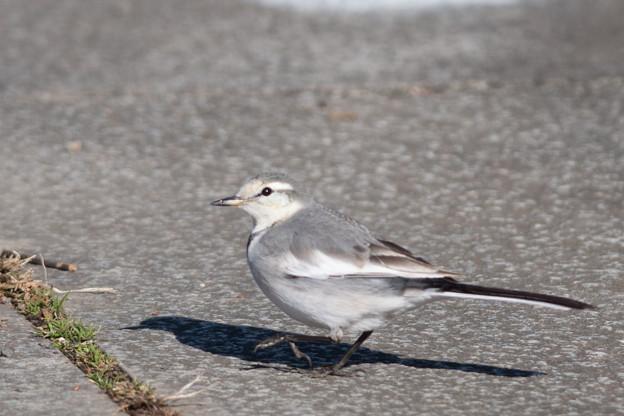 神代植物公園【野鳥:ハクセキレイ】2