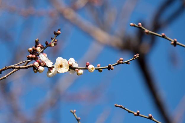 神代植物公園【梅:白難波】1